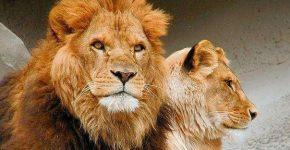 Если ты лев, то жена твоя львица, а если ...