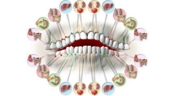 Каждый зуб связан с органом в вашем теле. Зубные повреждения предсказывают проблемы с вашими органами!